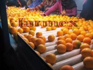 Wholesale Citrus Fruit: Fresh Navel Orange