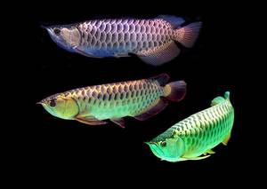 Wholesale golden arowana: Arowana Fishes Available