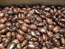 Wholesale castor seeds: Castor Seeds / Castor Oil