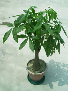 Wholesale House Plants: Pachira Macrocarpa
