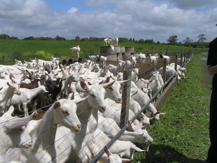 Sell  Alive Boer / Saanen Goats for sale at best prices