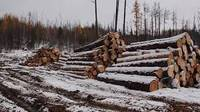 Sell RUSSIAN PINE,LARCH