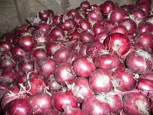 Wholesale onion: Fresh Onions