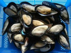 Wholesale mussel: Frozen Half Shell Mussel