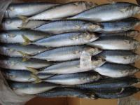 Good Quality Pacific Mackerel