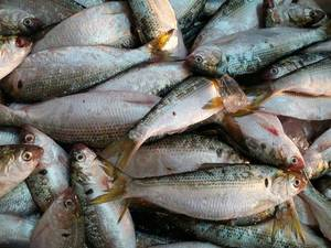 Wholesale gizards: Frozen Dotted Gizard Shad