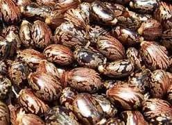 Wholesale castor seeds: Castor Bean Seeds