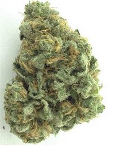 Wholesale Herb Medicine: Quebec Golds,Romberrys,Sensi Star X Ak47s,Shishkaberry,,