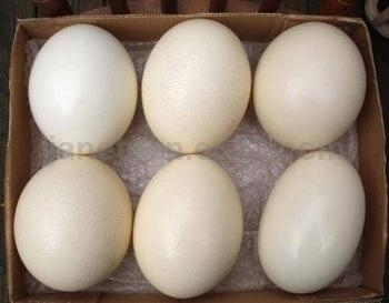 Fertilized Ostrich Eggs/ Ostrich Feathers for Sale. Whatsapp: +1 (502)-383-1656