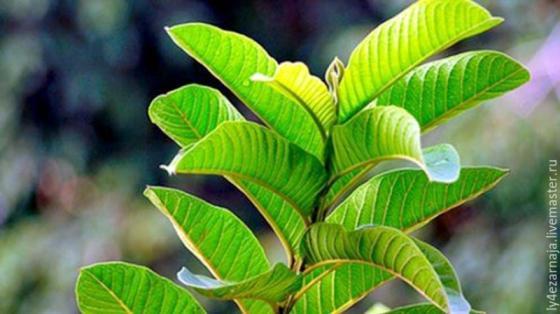 Biodynamic, Organic, Natural, Certified, Tested Guava Leaf Powder
