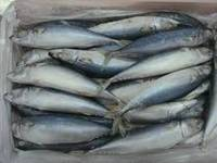A Variety of Size Frozen Mackerel Fish