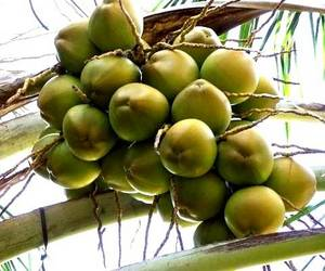 Wholesale mobile: Fresh Young Coconuts