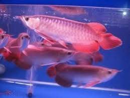 Wholesale super red arowana: 24 K Golden Arowana Fish