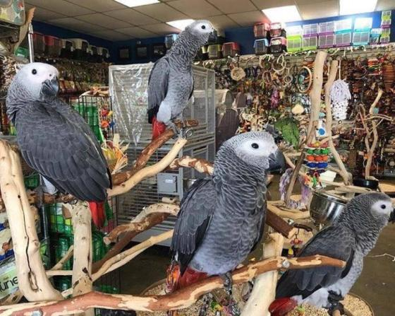 Sell African grey parrots