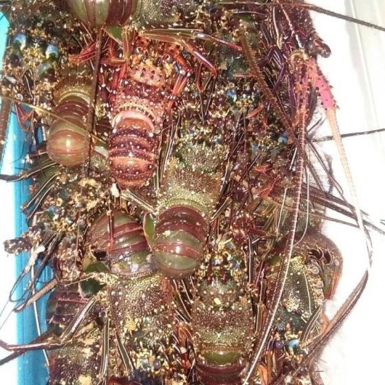 Sell Quality Frozen Lobster / Live Lobsters For Sale !! Best Price Black Lobster