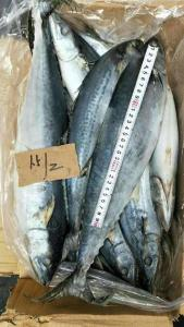 Wholesale frozen mackerel: Frozen Atlantic Mackerel