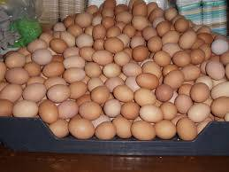 Wholesale Eggs: White and Brown Table Egg