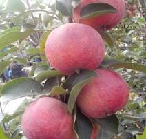 Wholesale red delicious: Sweet Red Delicious Fresh Apple