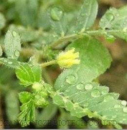 Wholesale terrestrial: Tribulus Terrestris Extract