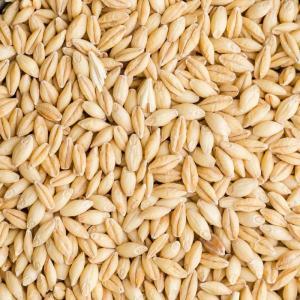 Wholesale barley: Barley for Malt, Barley Grain