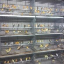 Wholesale mosaic: Birds,Mosaic-Canary-Waterslager-Canary-Birds-Yorkshire-canary