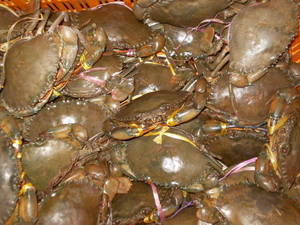 Wholesale crab meat: Crabs (Live) / Crab Meat