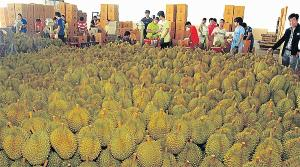 Wholesale spice can: Fresh Durian Fruit
