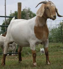 Sell Full Blood Boer Goats, Live Sheep, Cattle, Lambs and Cows