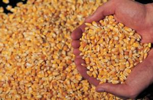 Wholesale corn gluten meal 60%: Maize Yellow Corn 2020 Crop for Corn Flakes,Corn Grits, Human Consumption Grade & Animal Feed