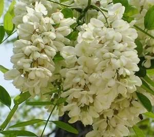 Wholesale rosavin: Sophora Japonica Extract Sophoricoside