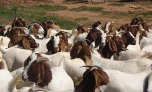 Wholesale boer goats: Boer Goats for Sale
