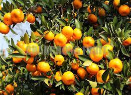 Wholesale mandarin orange: Fresh Mandarin Orange Citrus Fruit