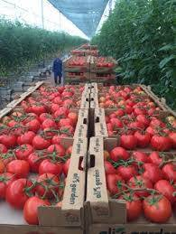 Wholesale Fresh Tomatoes: (HOT) Fresh Tomatoes /Tomato for Sale