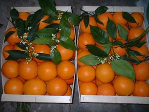 Wholesale navel orange: Fresh Navel Orange