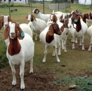 Wholesale top quality live sheep: Live Boer Goat for Sale.