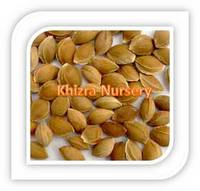 Sweet Apricot Seeds Stones Dried Fruits