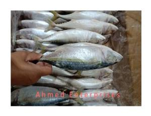 Wholesale Fish: Indian Mackerel Fish