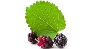 Wholesale 1% dnj: Mulberry Leaf Extract