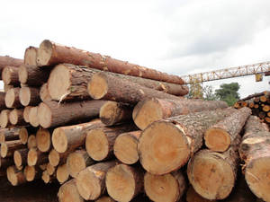 Wholesale timber logs sawn wood: Sell Pine, Spruce Birch Logs