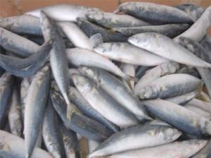 Wholesale Fish: Frozen Herring Fish- Best Prices and Best Quality