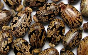 Wholesale castor seeds: Castor Seeds, Chick Peas, Coffee Bean, Pine Nuts, Almond Nuts