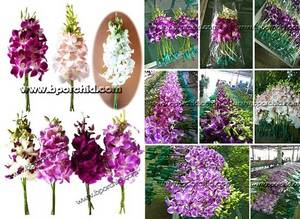 Wholesale flower: Dendrobium Orchid Cut Flower