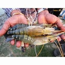Sell Tasty Good Quality Frozen Tiger Shrimp