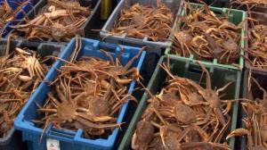 Wholesale live mud crabs: Frozen Snow Crab Legs / Live Green Mud Crab/FRozen Blue Crab
