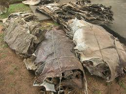 Wholesale animal hides: Donkey Hides, Cow Hides and Animal Feed