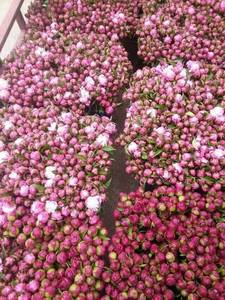Wholesale Fresh Cut Flowers: Herbaceous Peony Fresh Cut Flower