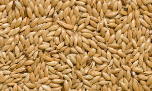 Wholesale canary seed: Canary Seed and Bird Mix Seed