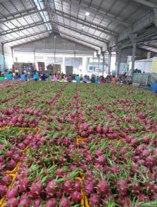 Wholesale dragon fruit: Dragon Fruit,Red and White Dragon Fruit (From Viet Nam)