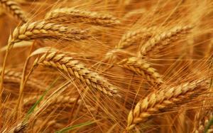 Wholesale Wheat: Soft Milling Wheat