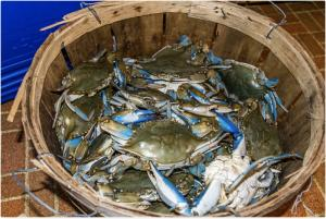 Wholesale fresh live mud crabs: Blue Fresh / Frozen Crabs